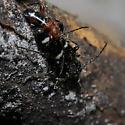 Longhorned Beetles - Phymatodes varius - male - female