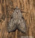 Moth - Meganola