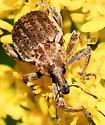 Donus zoilus - Clover Leaf Weevil - Donus zoilus