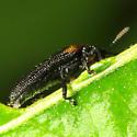 Odontota scapularis? - Odontota scapularis
