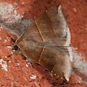 moth - Parallelia bistriaris