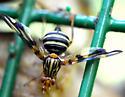 Fly - Idana marginata - female