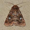 Moth - Properigea albimacula