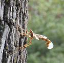 Female Ichneumon Wasp - Megarhyssa macrurus - female
