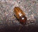 tiny beetle – genus Lasioderma?? - Atomaria
