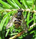 Diptera 7-28-11 02a - Chrysotoxum