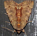 Moth - Catocala grynea