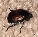 Possible beetle? - Popillia japonica