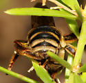Anthophorine Bee? - Svastra