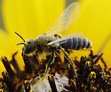 unknown bee  - Perdita