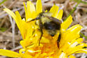 Bumble Bee - Bombus vagans