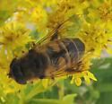 Eristalis in Cape May - Eristalis tenax - female