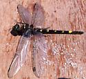 Found this dying dragonfly in the ocean on Old Sliver Beach. Tried to save it, to avail, alas. Would love to know what it is. - Macromia illinoiensis