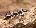 Predatory Wasp - Ampulex canaliculata