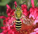 Agapostemon virescens ? - Agapostemon - male