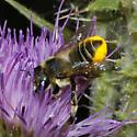 Megachilidae - Megachile - female