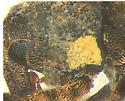 Curculionidae, pollen - Conotrachelus seniculus