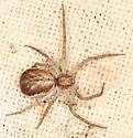spider #25 voucher image - Philodromus dispar - female