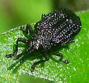 Leaf Beetle  - Microrhopala excavata