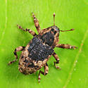 weevil - Cophes fallax