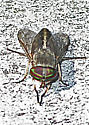 Possible Deer Fly - Tabanus