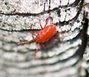 Red Mite - Balaustium