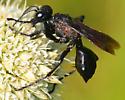 black wasp Prionyx? - Prionyx atratus