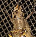 Spring Fishfly? - Chauliodes rastricornis
