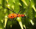 Hemiptera nymph - Leptoglossus