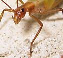 Pine Tree Cricket - Oecanthus pini - female