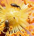Gold Weevil on Wild Rose - Acalyptus carpini