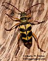 Longhorn Beetle - Strophiona laeta