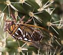 cicada Plains Harvest-fly - Megatibicen tremulus