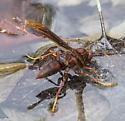possible Paper Wasp - Polistes major