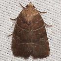 Grateful Midget Moth - Hodges #9684 - Elaphria grata