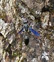 Thread Waisted Wasp? - Isodontia apicalis