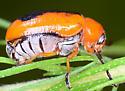 Anomoea nitidicollis crassicornis - Anomoea nitidicollis