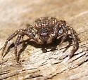 Crab spider - Bassaniana utahensis