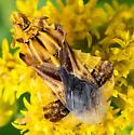 Phymata sp.? - Phymata