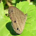 Spotty - Hermeuptychia sosybius
