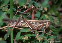 Large Grasshopper - Schistocerca americana - female