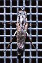 Large striped fly - Ozodiceromyia