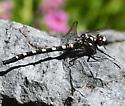 Tanypteryx hageni - Black Petaltail - Tanypteryx hageni - male