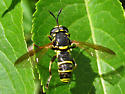 Syrphid Fly - Ceriana tridens - male
