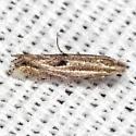 Bucculatrix adelpha - Hodges #0523 - Bucculatrix adelpha