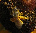 Member of bee colony? - Lasioglossum - female