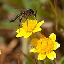Odd Fly - Macrorrhyncha coxalis