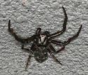 black crab spider - Coriarachne brunneipes - male