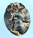Stethorus - Stethorus punctillum