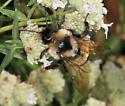 bumblebee - Bombus citrinus